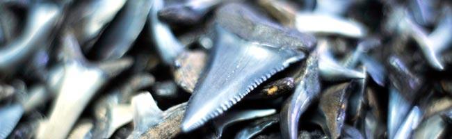 shark-teeth-hilton-head-12-13-13