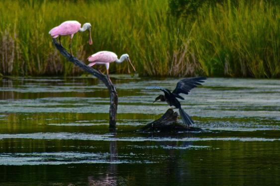 roseate spoonbill and anhinga