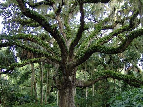 Live Oak washington oaks