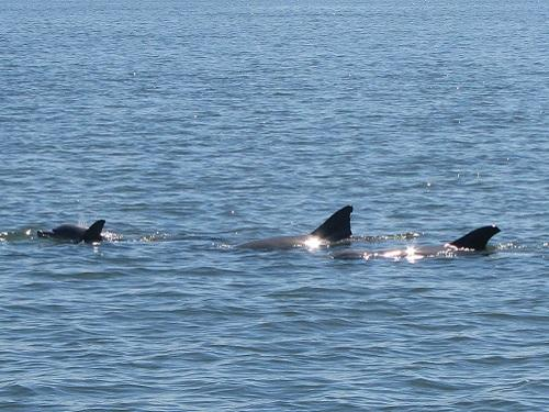 3 dolphin blog spinnaker resorts hilton head island