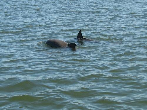 dolphin blog spinnaker resorts hilton head island social