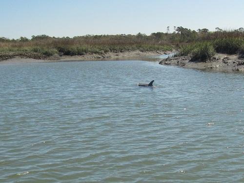 strand dolphin blog spinnaker resorts hilton head island
