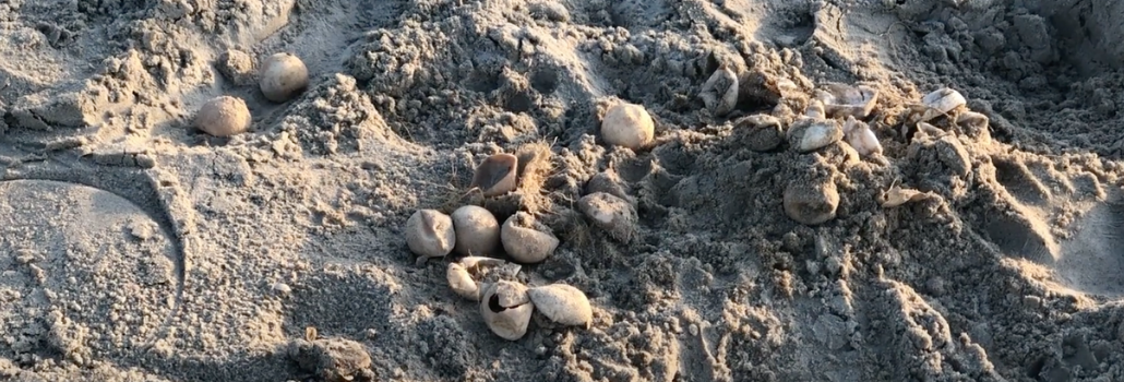 Sea Turtle Hatching Secrets, Hilton Head Island, SC